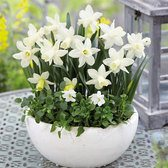 Narcissi Snow Baby