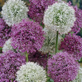 Allium Giant Mixed 18cm+