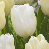 Tulip White Flag