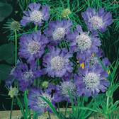 Scabiosa Fama Blue (power-module)