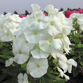 Phlox Adessa White (Power-Module)