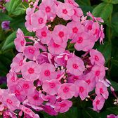 Phlox Adessa Rose Eye (Power-Module)