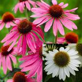 Echinacea Purpurea Collection