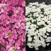 Arabis Caucasia Collection (power-module)