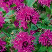 Monarda Knight Purple (power-module)