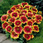 Gaillardia Grandiflora Arizona Sun (power-module)