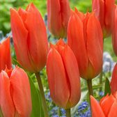 Tulip Orange Brilliant