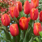 Tulip Christmas Orange