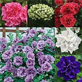 Trailing Double Petunia Collection