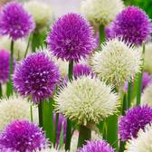 Allium New And Rare Collection