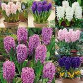 Hyacinth Bedding Collection 14/15cm