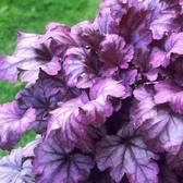 Heuchera Plum Royale