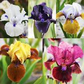 Iris pumila Collection (Dwarf Bearded)