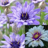 Catananche caerulea Collection (P9 Pot)
