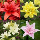 Lily Double Asiatic Collection