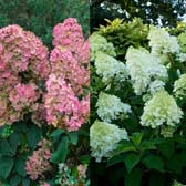 RHS Award Winning Hydrangea Collection