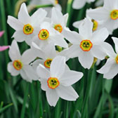 Narcissi Pheasant Eye