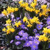 Narcissi Tete-a-Tete and Anemone Blue Collection