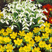 Galanthus Woronowii and Winter Aconites Collection