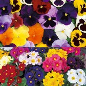 Polyanthus And Pansy Collection (garden Ready)