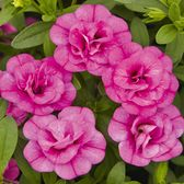 Calibrachoa Calita Double Rosy