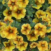 Petunia (Petchoa) Beautical Caramel Gold