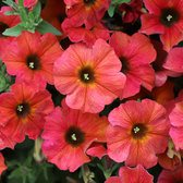 Petunia Beautical Cinnamon