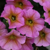 Petunia (Petchoa) Beautical Sunray Pink