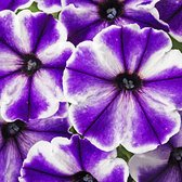 Petunia Crazytunia Blue Ice