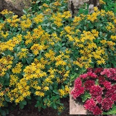 Sedum Ground Cover Perennial Collection