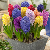Hyacinth Fragrant Mixed