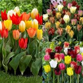 Tulip Unusual Mixtures Collection