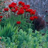 Papaver orientale Regal Red