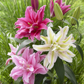 Lilium Double Oriental Mixed