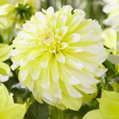 Dahlia Hollyhill Lemon Ice