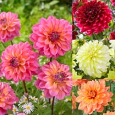 Dahlia Premium Decorative Collection