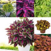 Coleus Premium Mixed