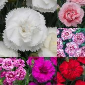 Dianthus Cottage Garden Collection
