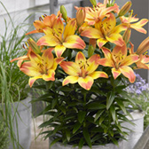 Lily Happy Memories