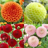 Pompom Dahlia Collection
