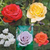 Rose Fragrant Collection