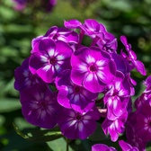 Phlox Adessa Special Purple Star (Power-Module)