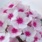 Phlox Adessa Pink Star (Power-Module)