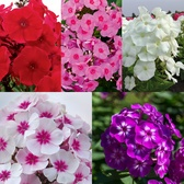 Phlox Adessa Collection (Power-Module)