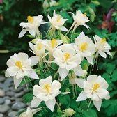 Aquilegia Origami White (Power-Module)