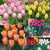 Tulip Short Single Collection