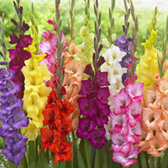 Large Flowering Gladioli Mixed 8/10cm