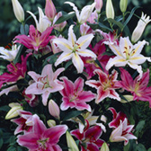 Lily Oriental Mixed