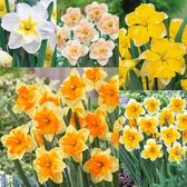 Narcissi Rare Orchid Collection