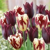 Tulip Havran / Grand Perfection